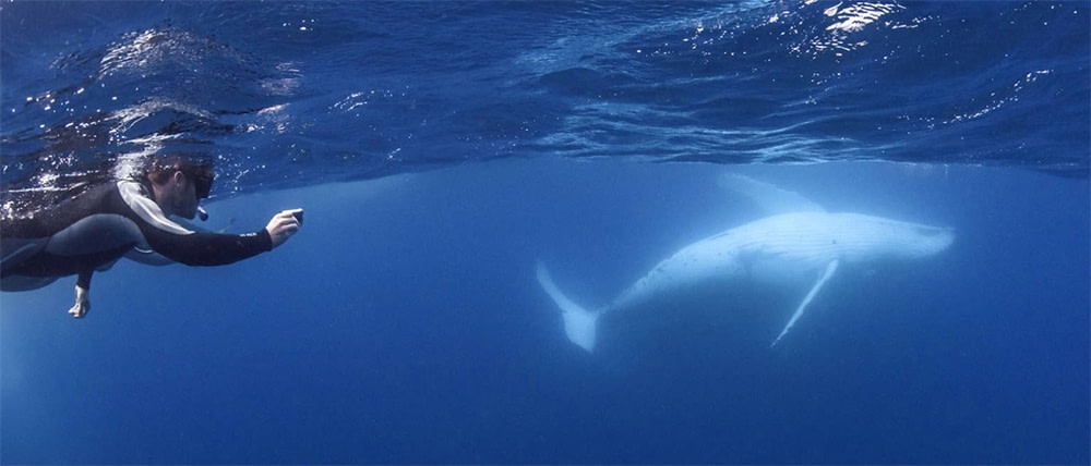 swimming-with-whales-on-sunshine-coast