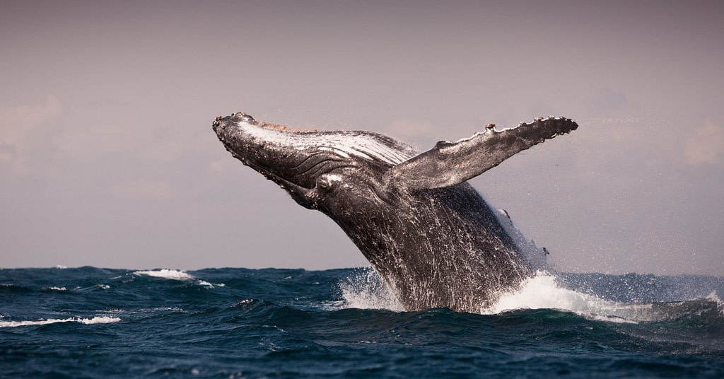 perth-to-exmouth-road-trip-humpback-whales