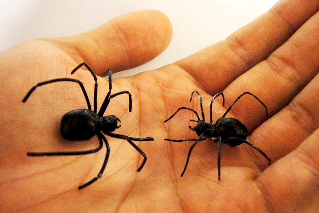 Spiders-in-sydney